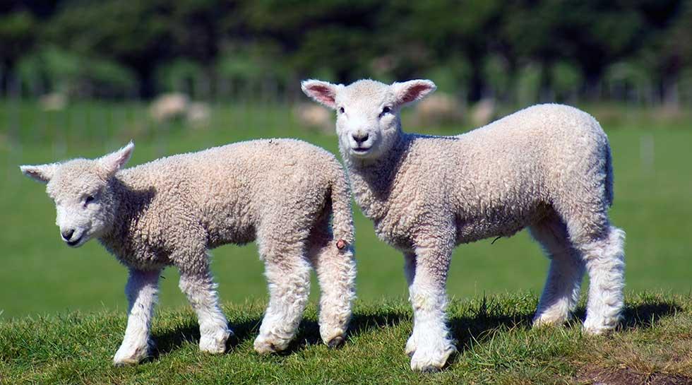 SHEEP TAGS